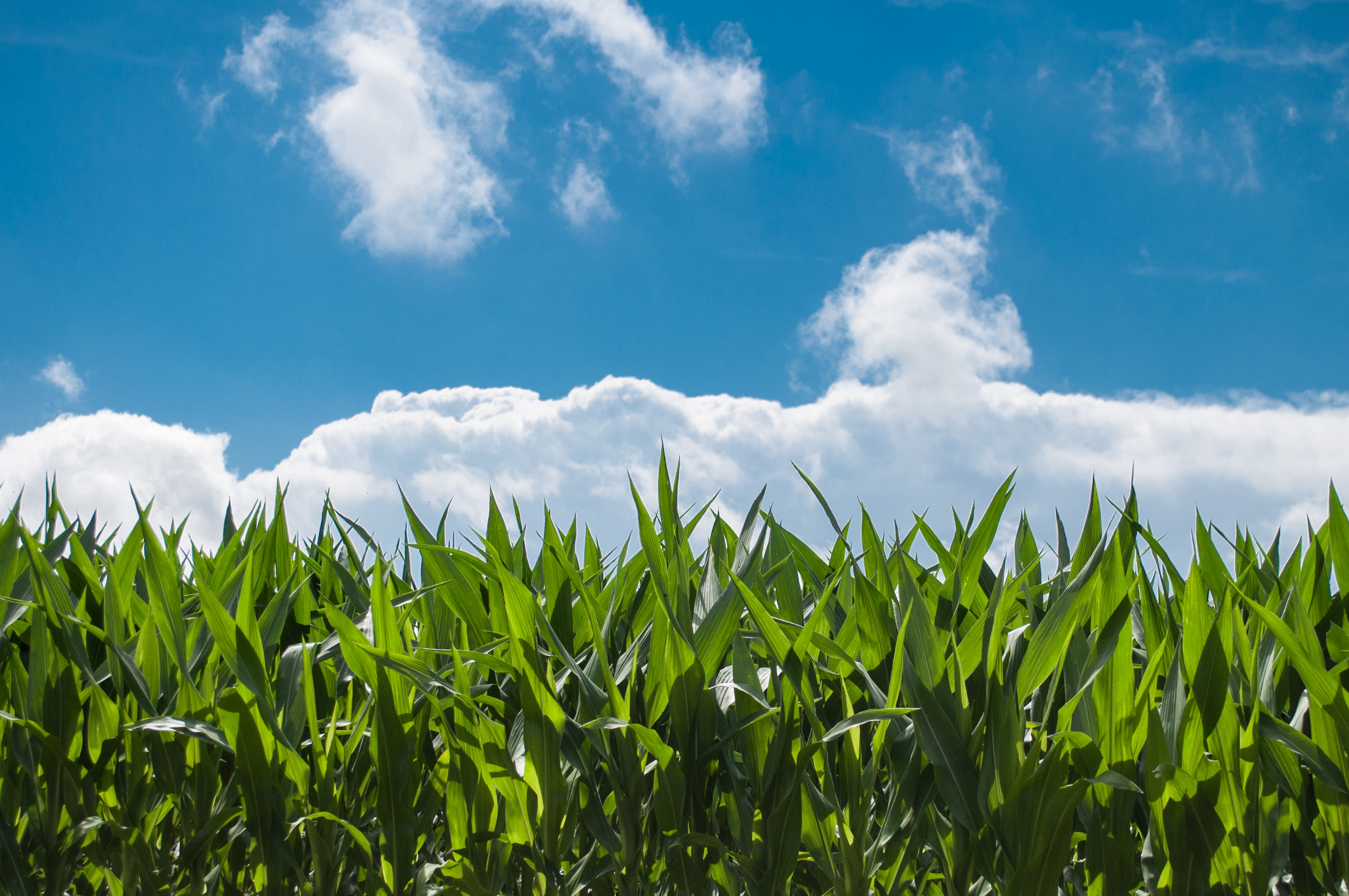 Photo of corn and clouds